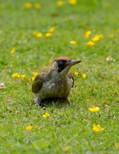 woodpecker looking up