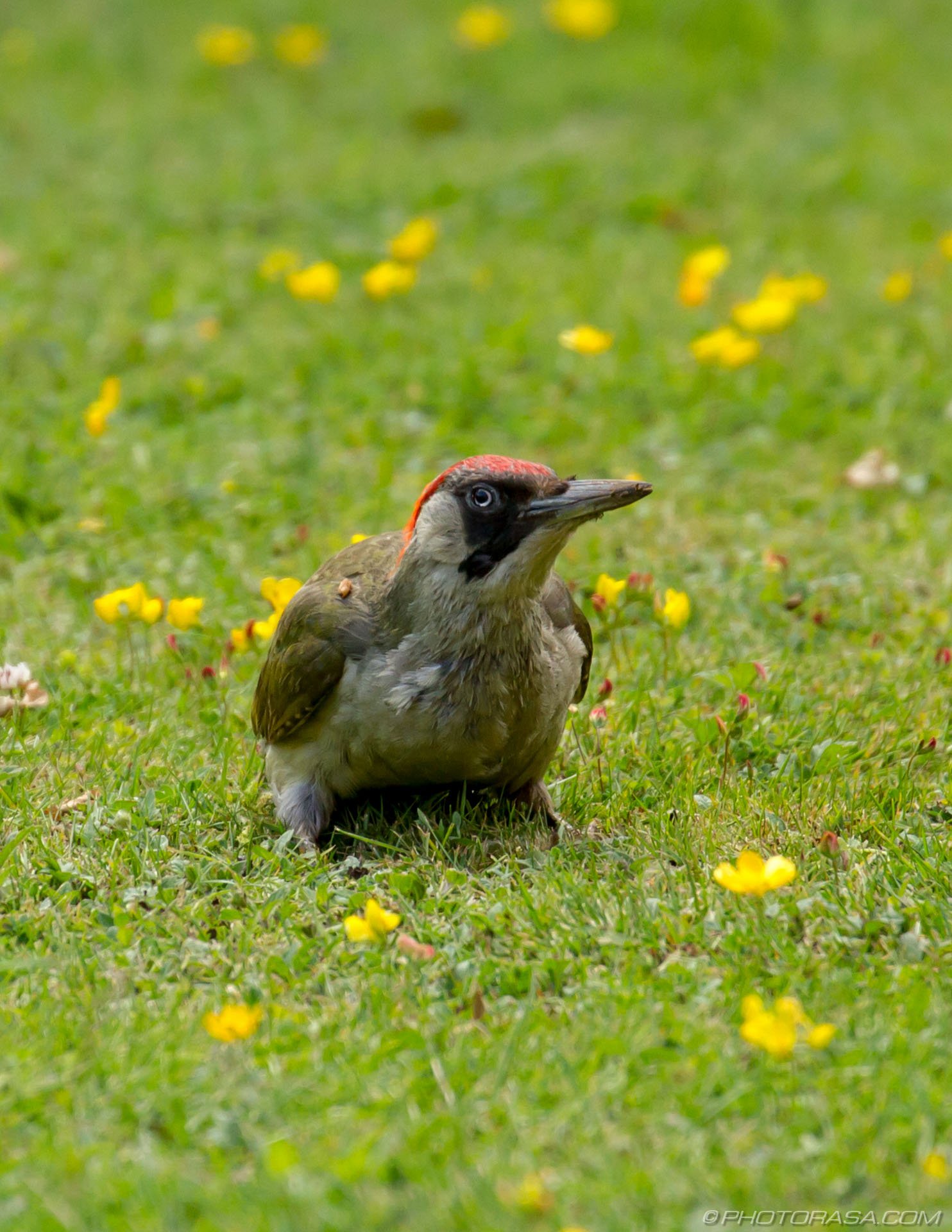 http://photorasa.com/green-woodpecker/woodpecker-looking-up/