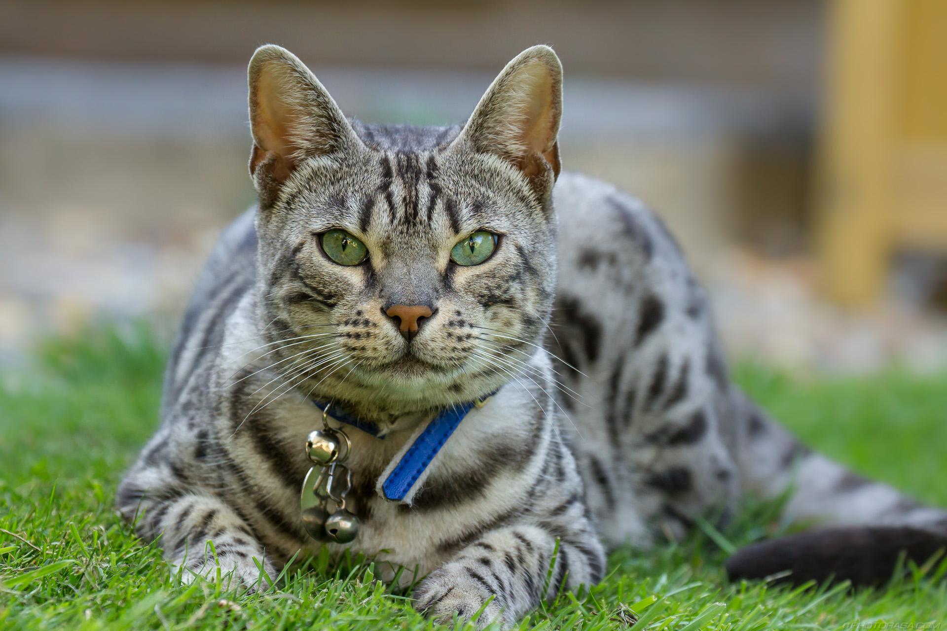 https://photorasa.com/silver-tabby-cat/a-soft-friendly-look-towards-the-camera/
