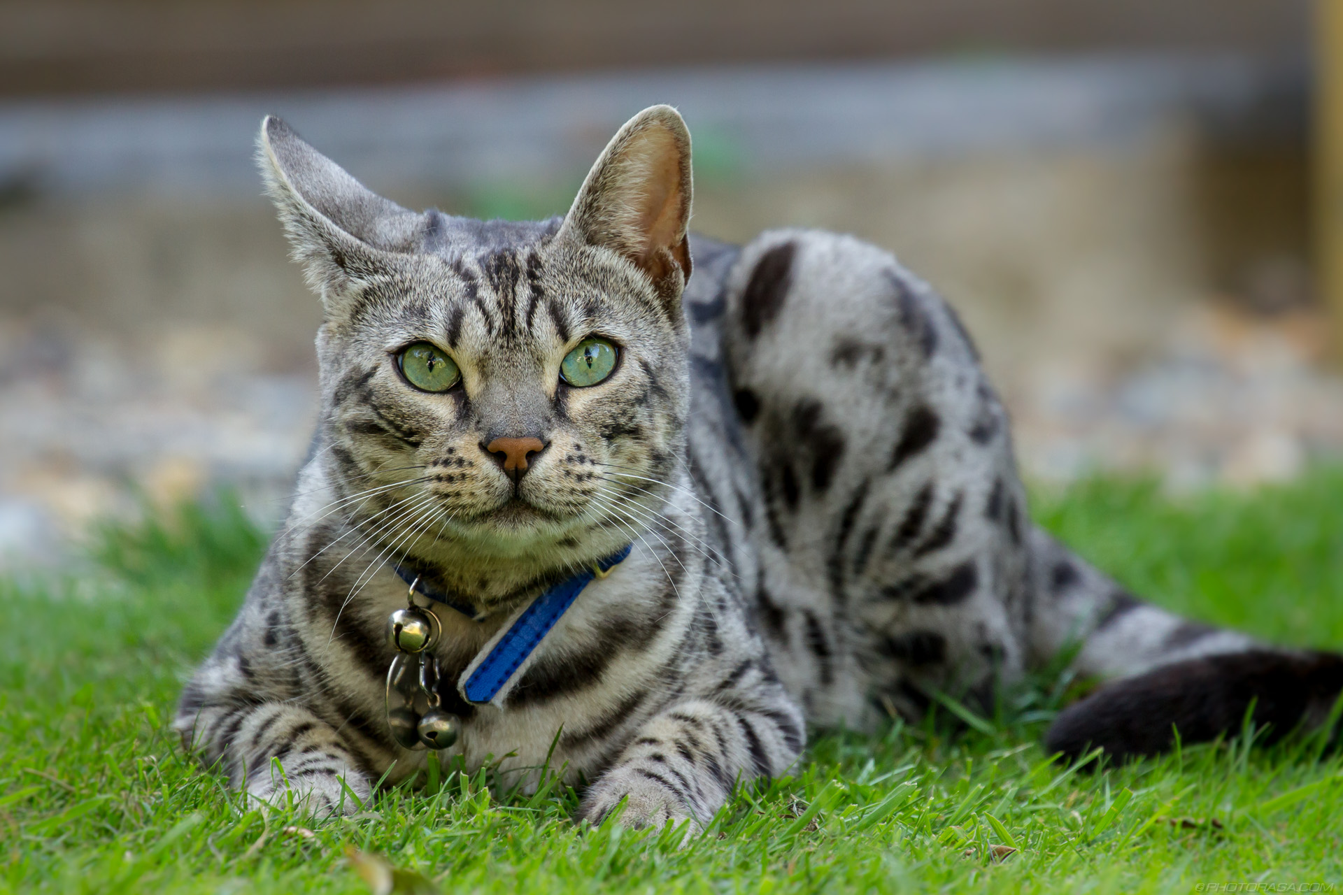 http://photorasa.com/silver-tabby-cat/cat-with-a-squiffy-turned-ear/