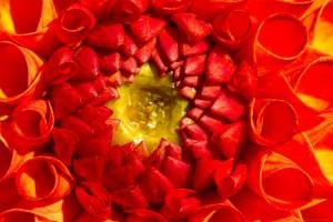 strange and exotic dahlia flower teeth