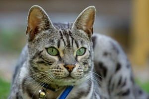head of silver tabby cat
