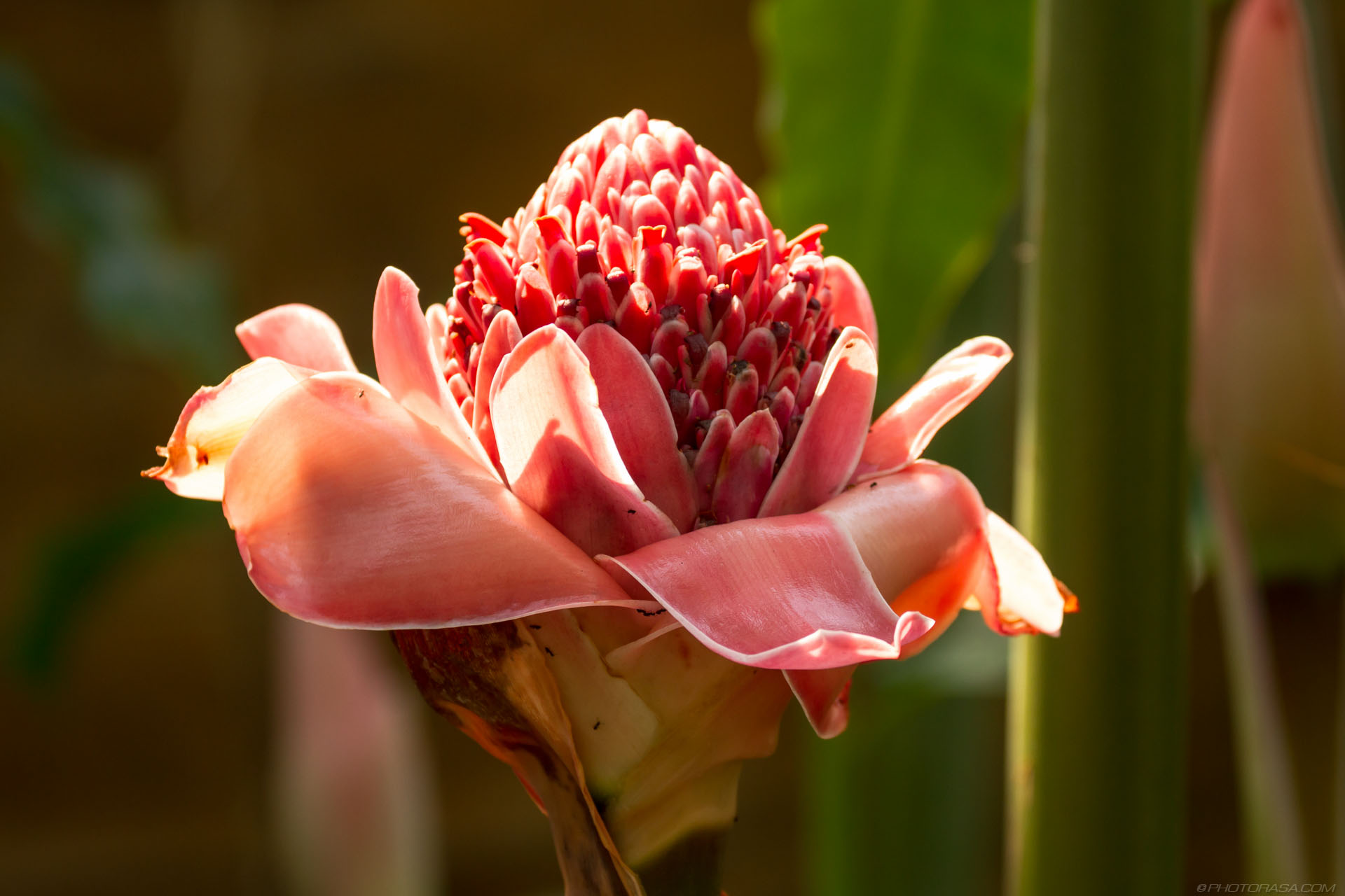 http://photorasa.com/strange-exotic-flowers/large-pink-succulent-flower/