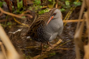 long beaked water rail