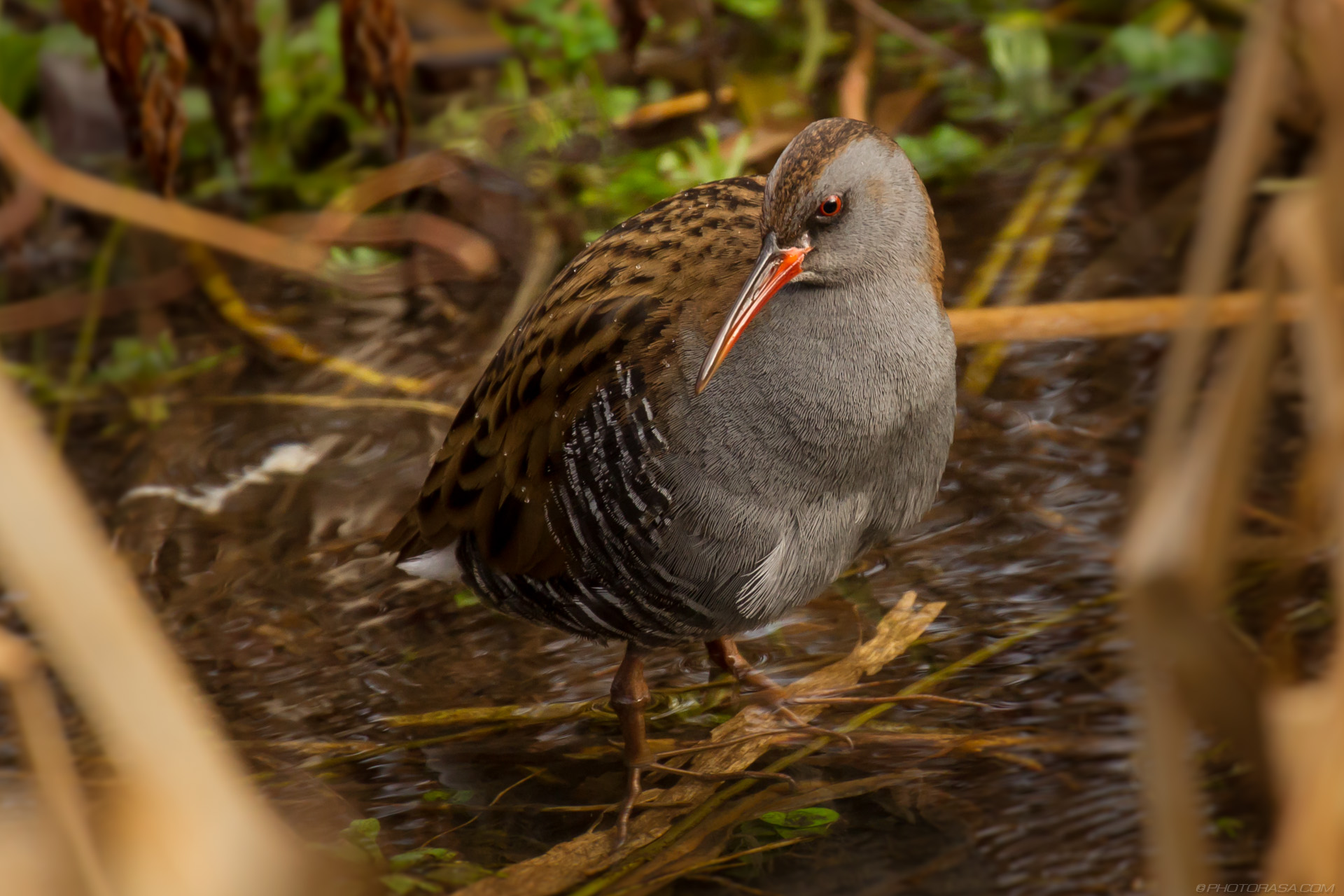 http://photorasa.com/water-rail-by-the-stream/long-beaked-water-rail/