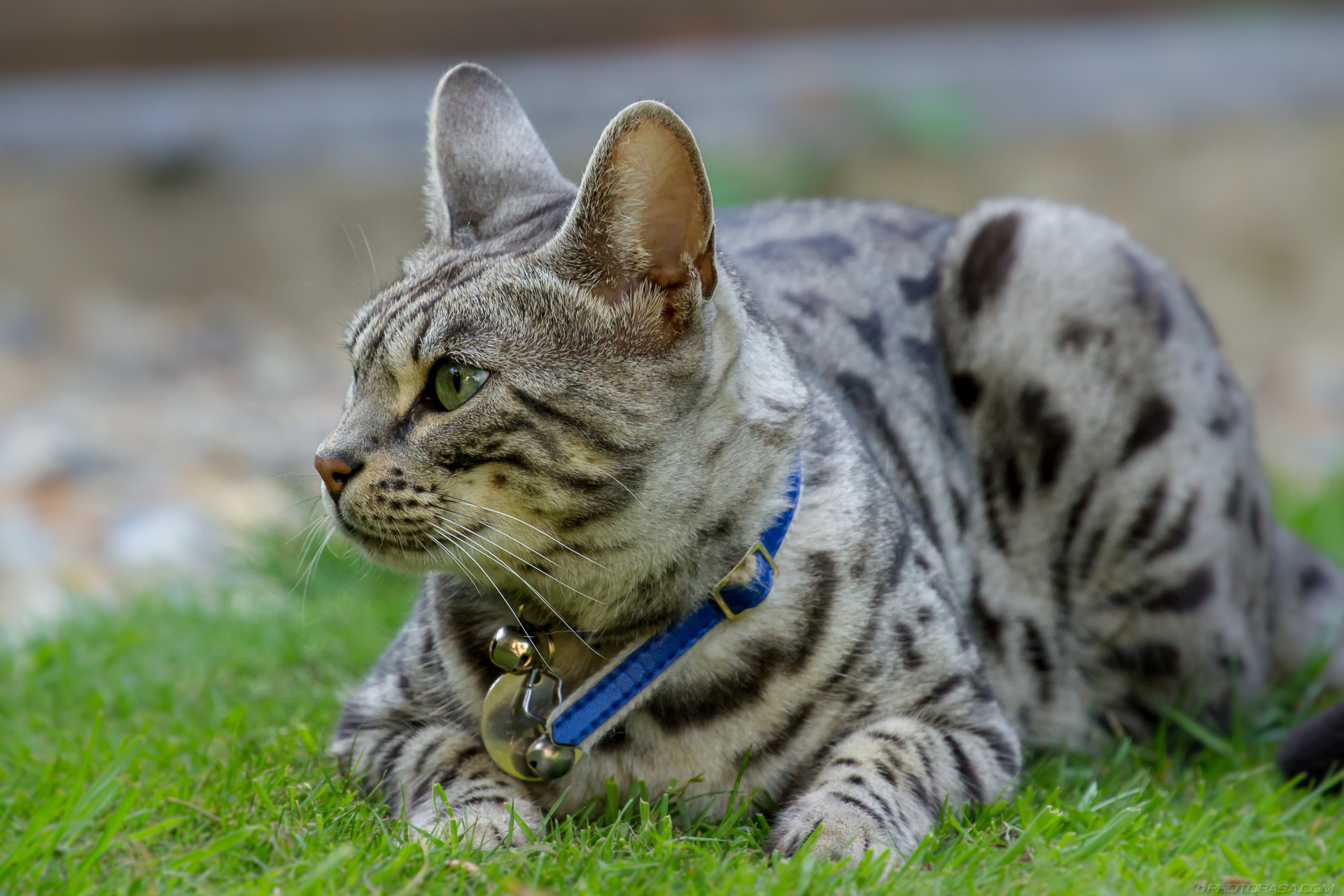 http://photorasa.com/silver-tabby-cat/looking-left/