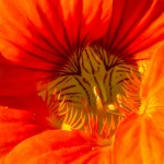 orange striped stamen