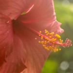 strange exotic pink flower with yellow stamin in steamy conditions