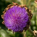 purple head of artichoke flower