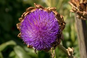 purple head of artichoke flower