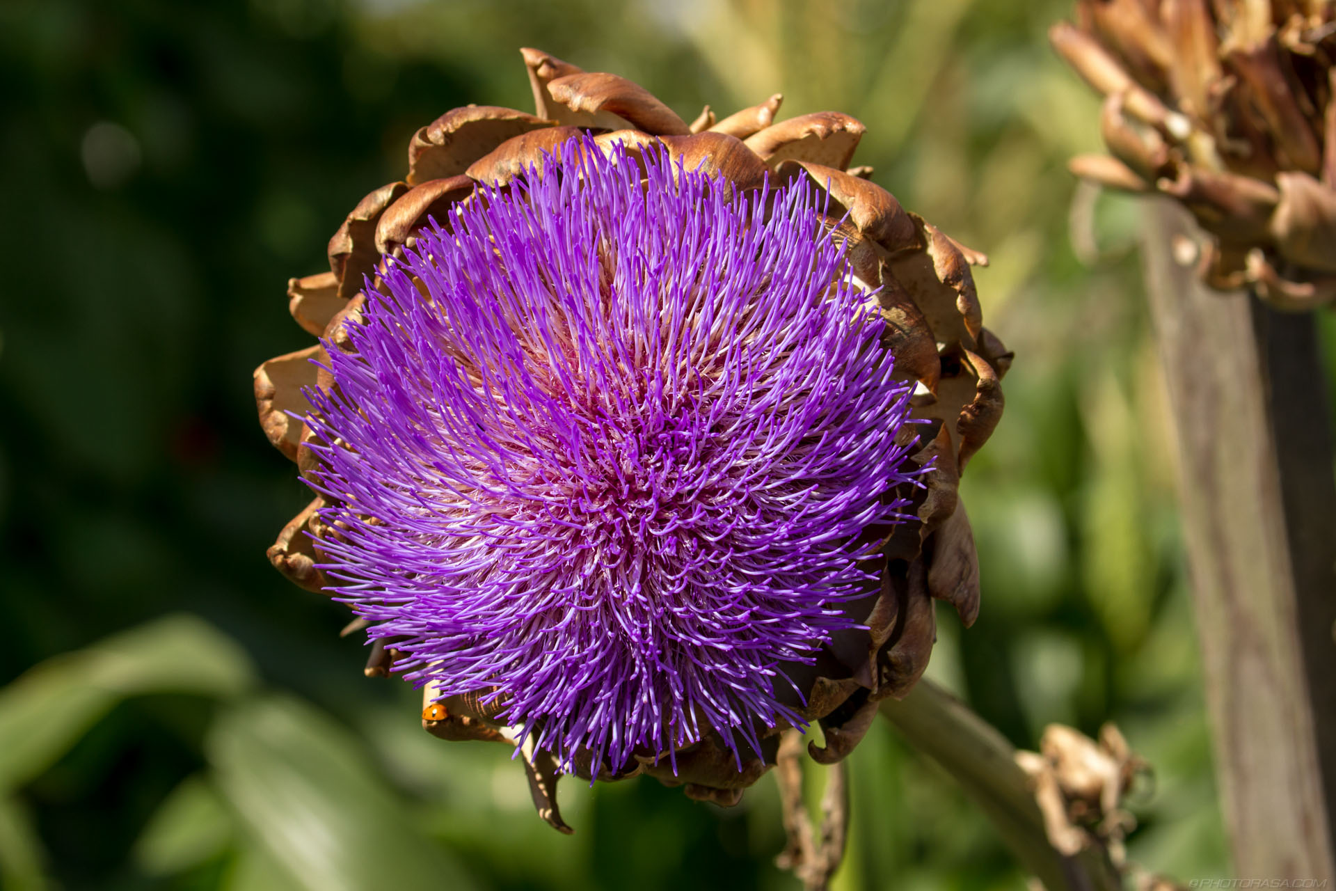 https://photorasa.com/strange-exotic-flowers/purple-head-of-artichoke-flower/