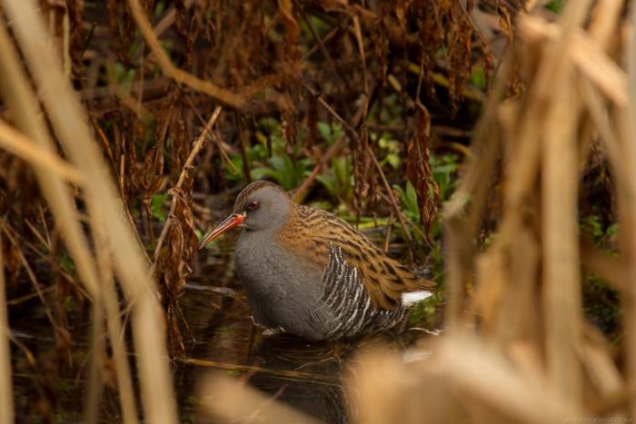 rail bird in the undergrowth