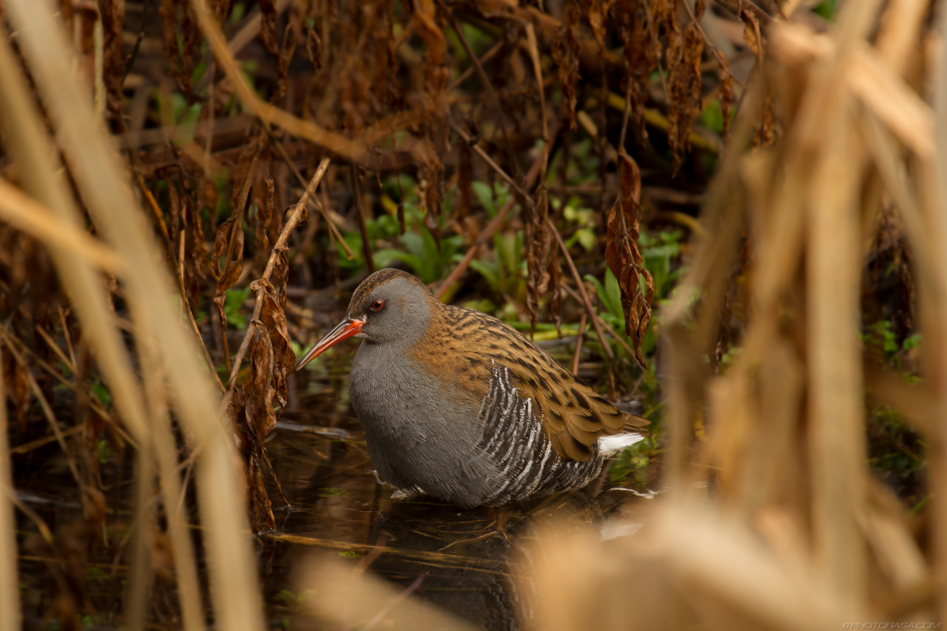 http://photorasa.com/water-rail-by-the-stream/rail-bird-in-the-undergrowth/