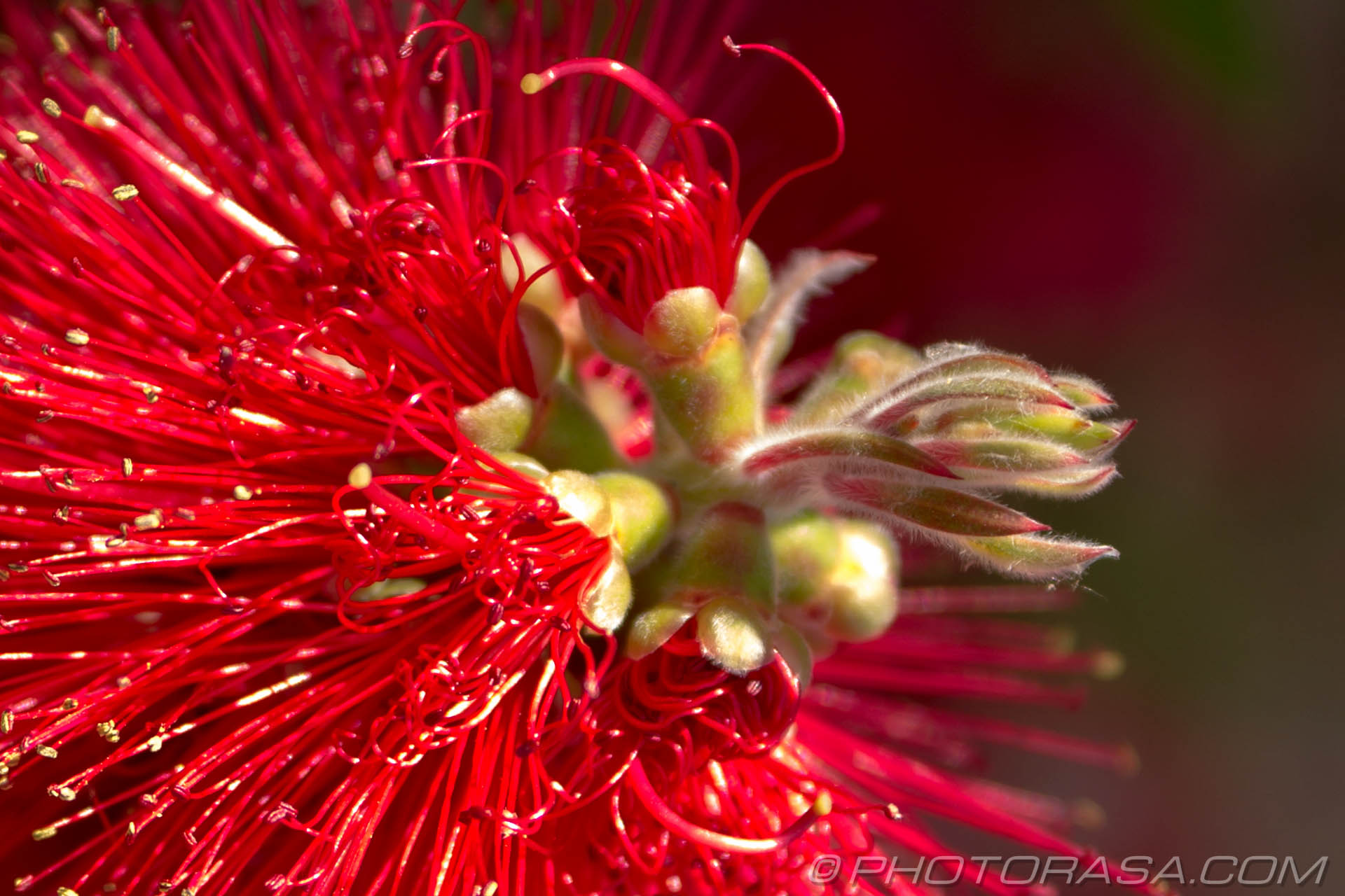 https://photorasa.com/strange-exotic-flowers/red-spaghetti-flower/