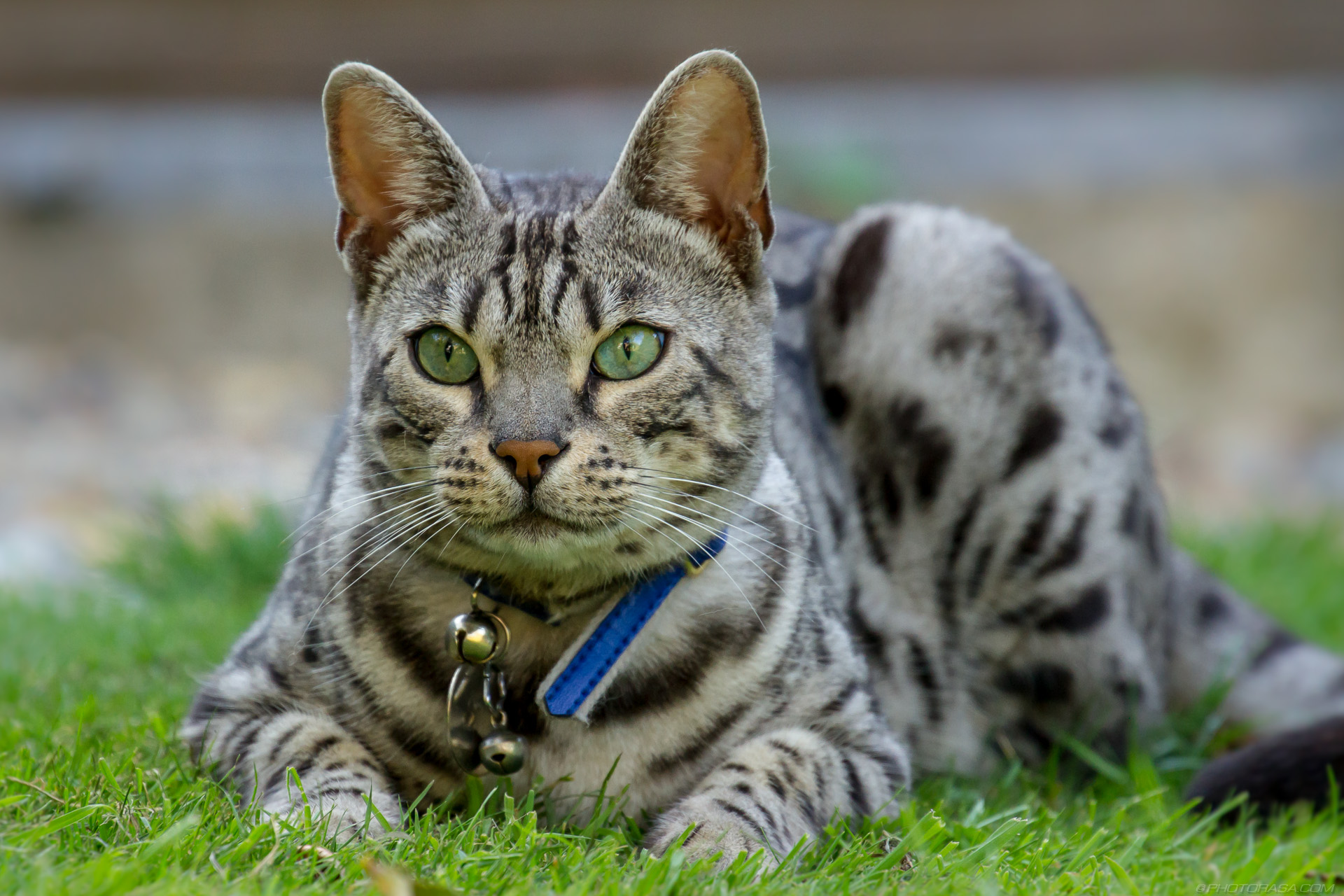 http://photorasa.com/silver-tabby-cat/silver-tabby-cat-looking-into-the-distance/