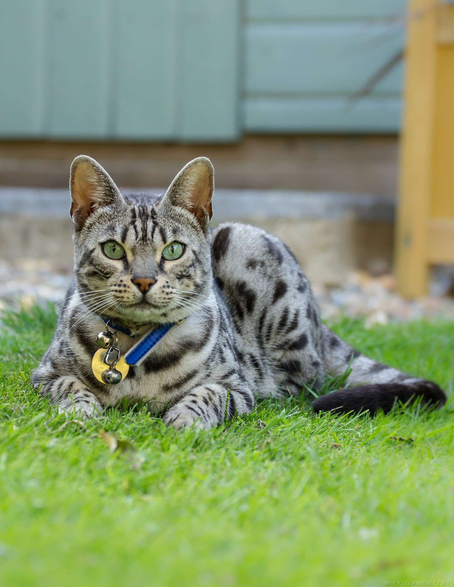 http://photorasa.com/silver-tabby-cat/sitting-and-looking-straight-ahead/