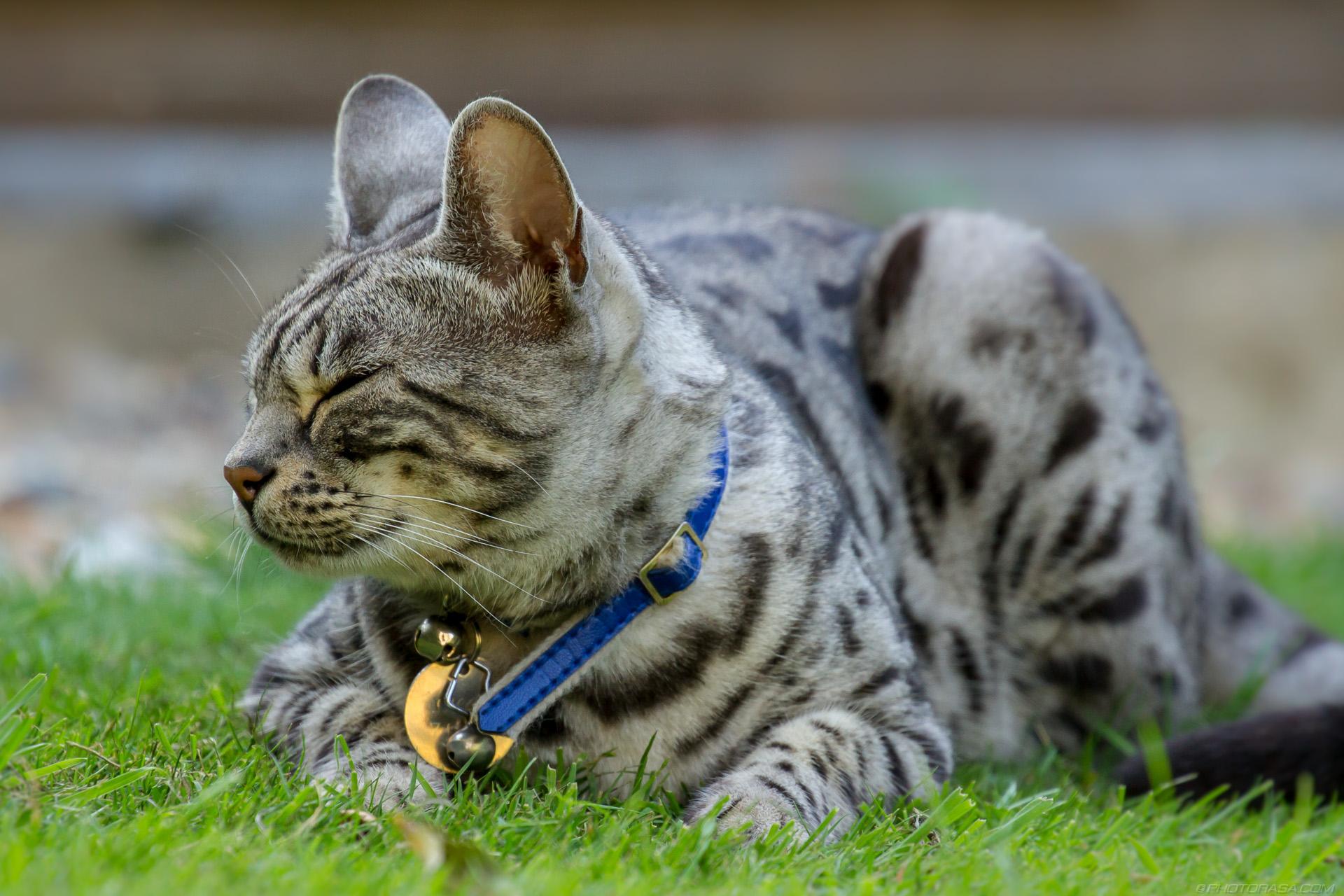 https://photorasa.com/silver-tabby-cat/sleepy-closed-eyes/