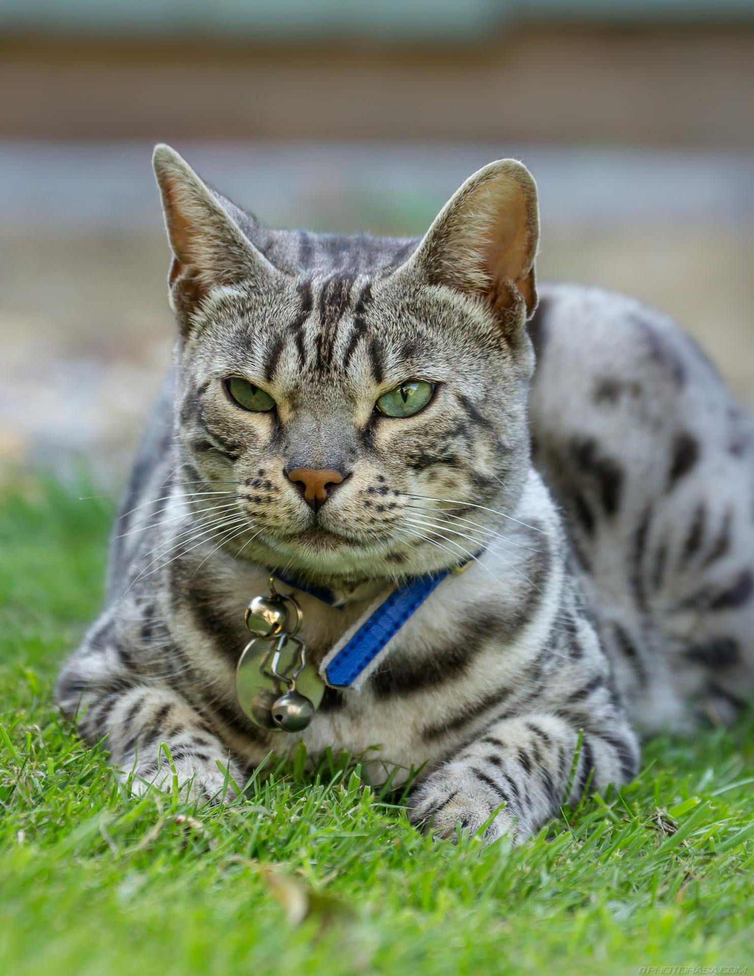 https://photorasa.com/silver-tabby-cat/sleepy-eyes/