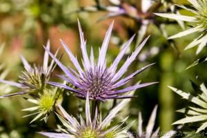 spiky flower thistles