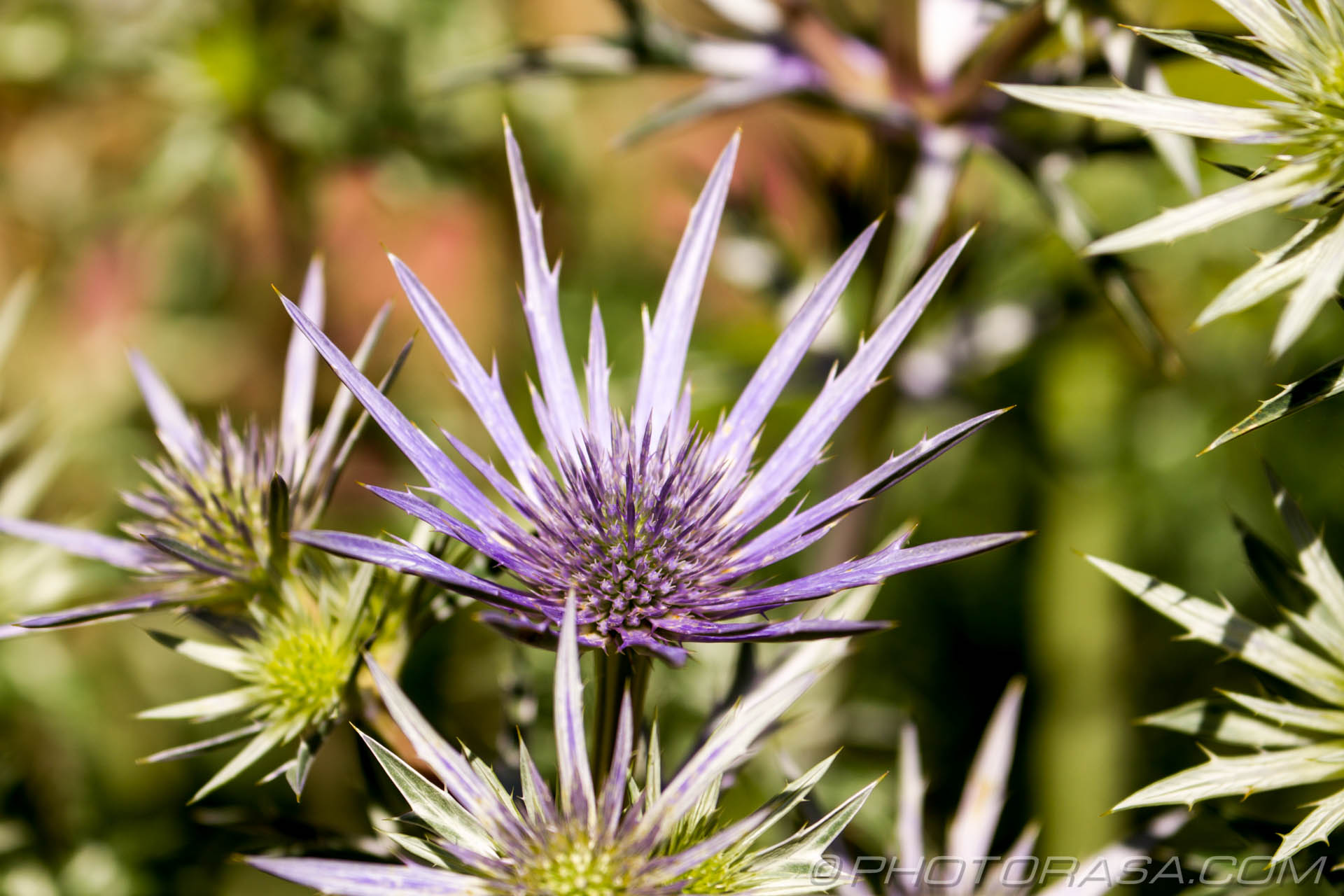 http://photorasa.com/nature/strange-exotic-flowers/attachment/spiky-flower-thistles/
