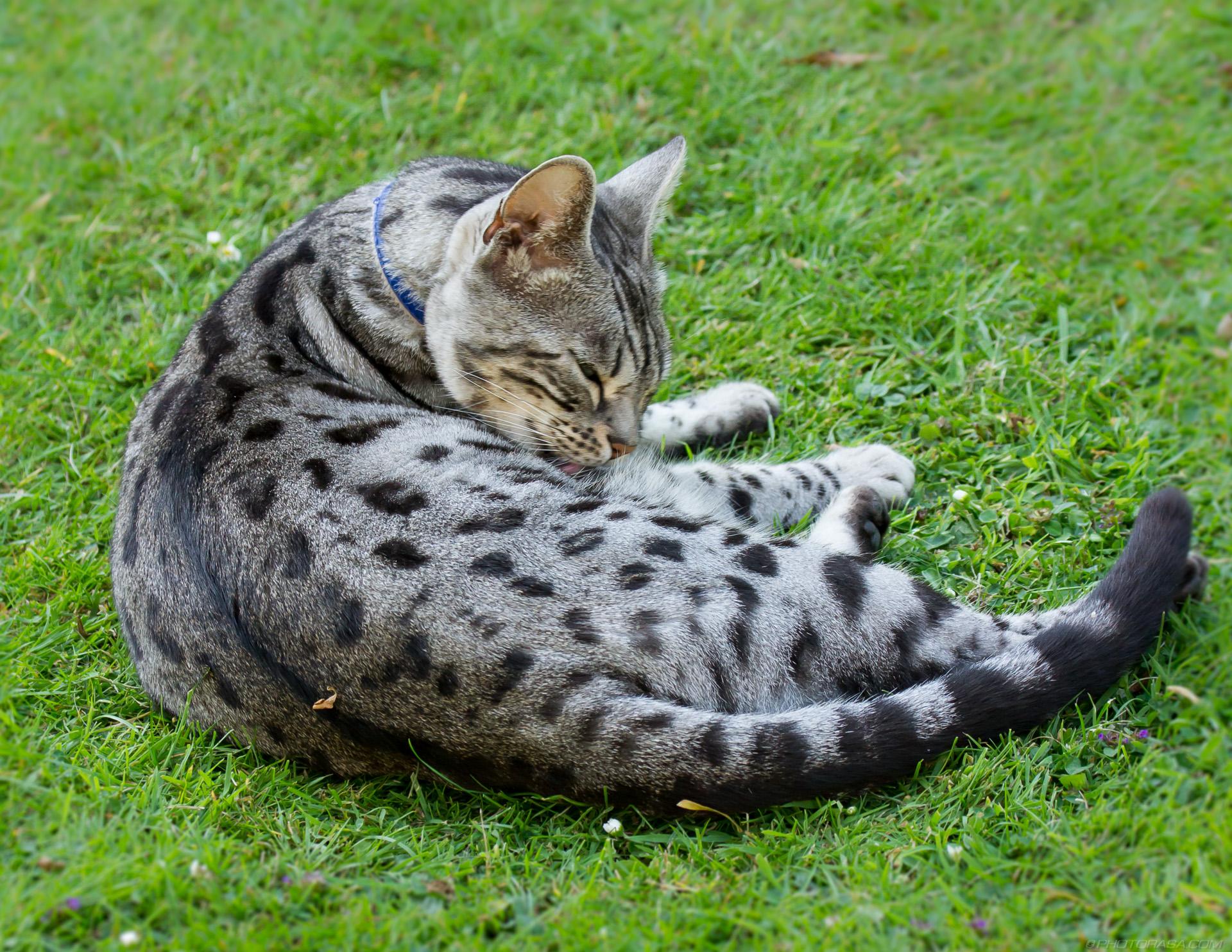 https://photorasa.com/silver-tabby-cat/spotted-silver-pattern-on-tabby-cat/