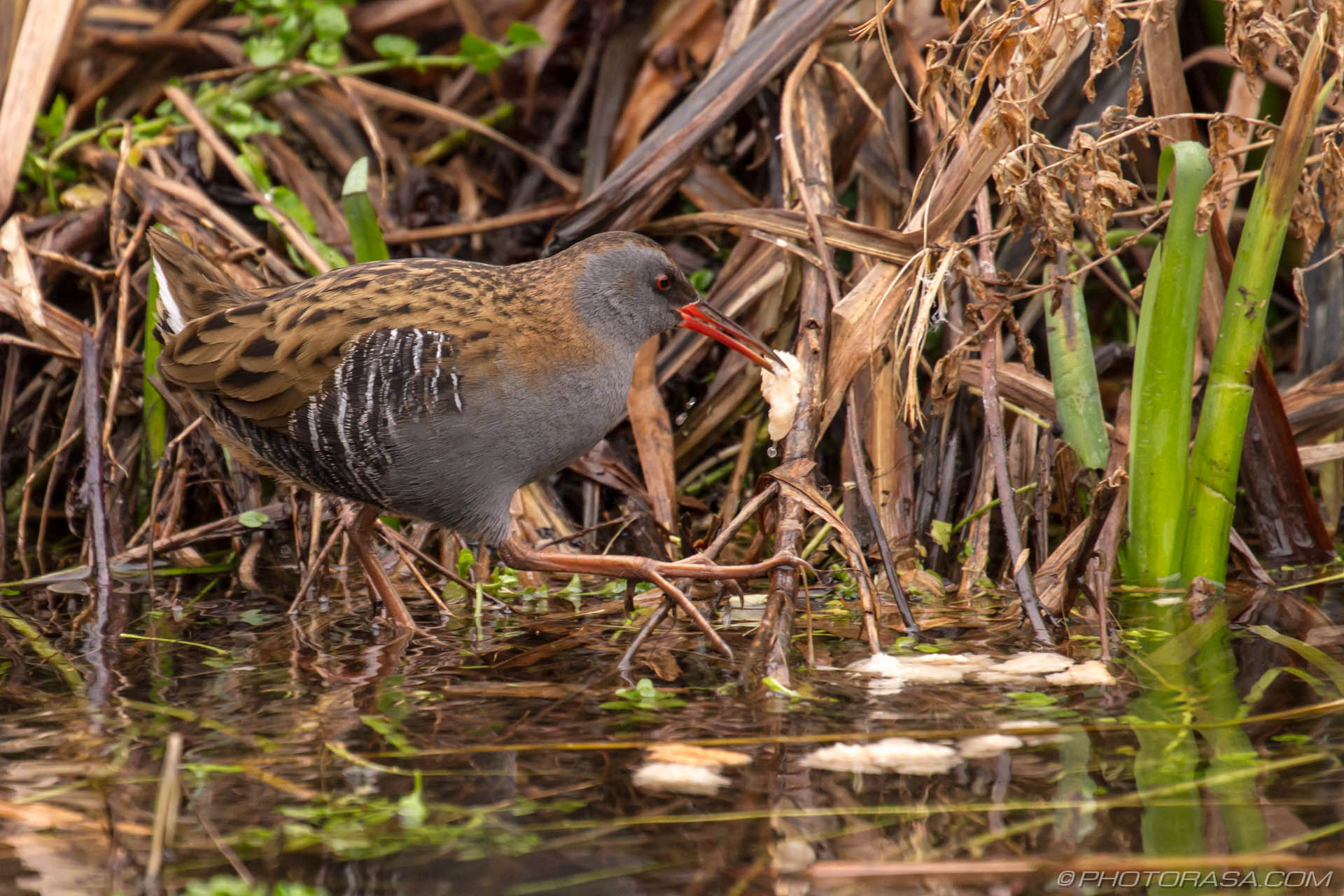 http://photorasa.com/water-rail-by-the-stream/stepping-across-foliage/