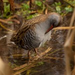 water rail cleaning feathers