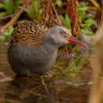 water rail crouching