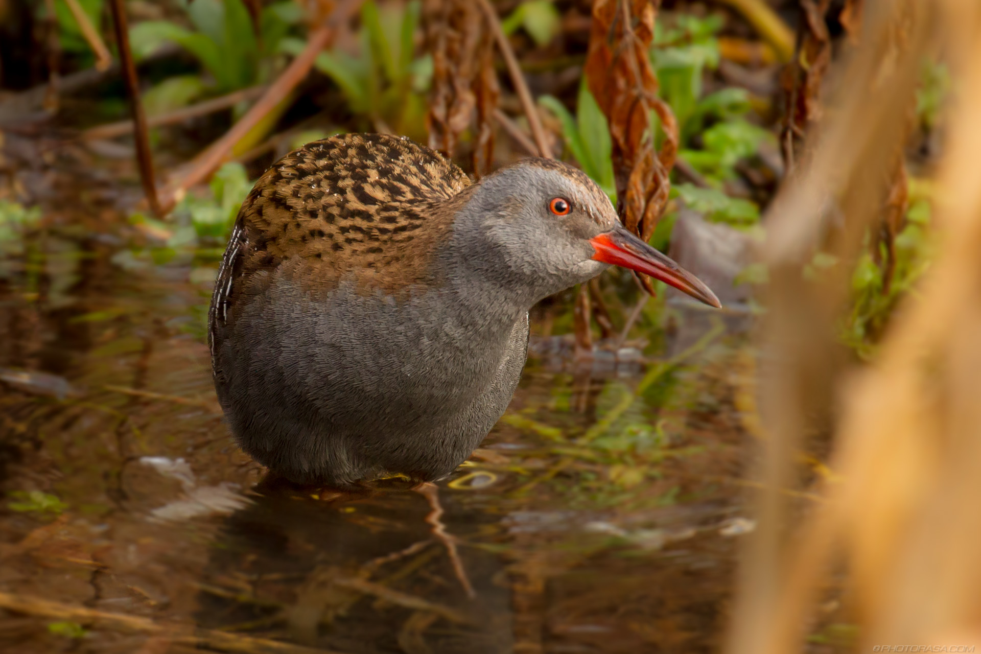 http://photorasa.com/water-rail-by-the-stream/water-rail-crouching/