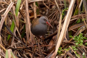 water rail in winter