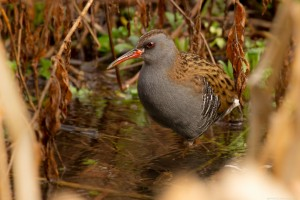 water rail looking left