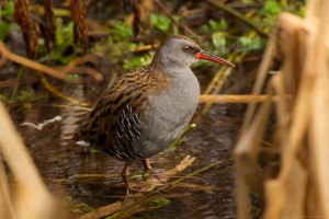 water rail looking right