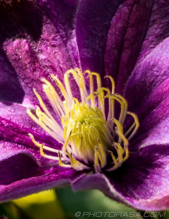 yellow finger stamen of clematis