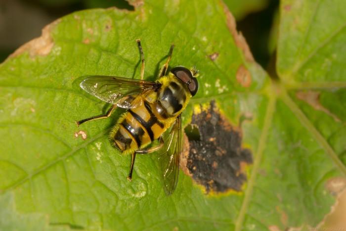 Myathropa florea hoverfly