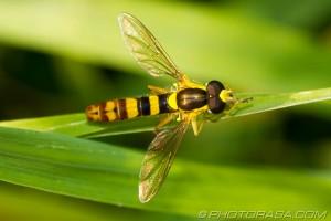 Sphaerophoria scripta hoverfly