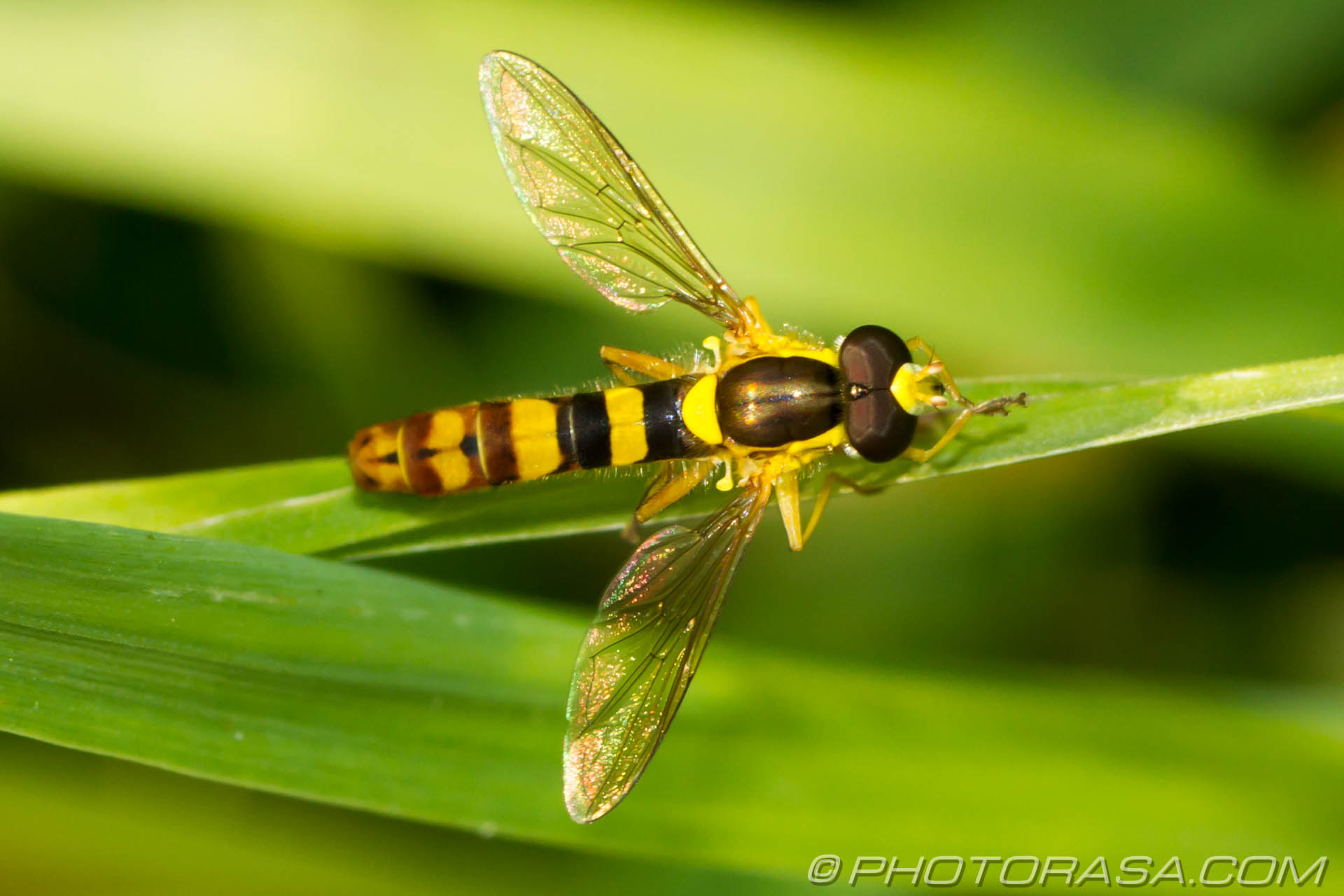http://photorasa.com/animals/insects/hoverflies/attachment/sphaerophoria-scripta-hoverfly/