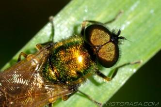 gold fly eyes
