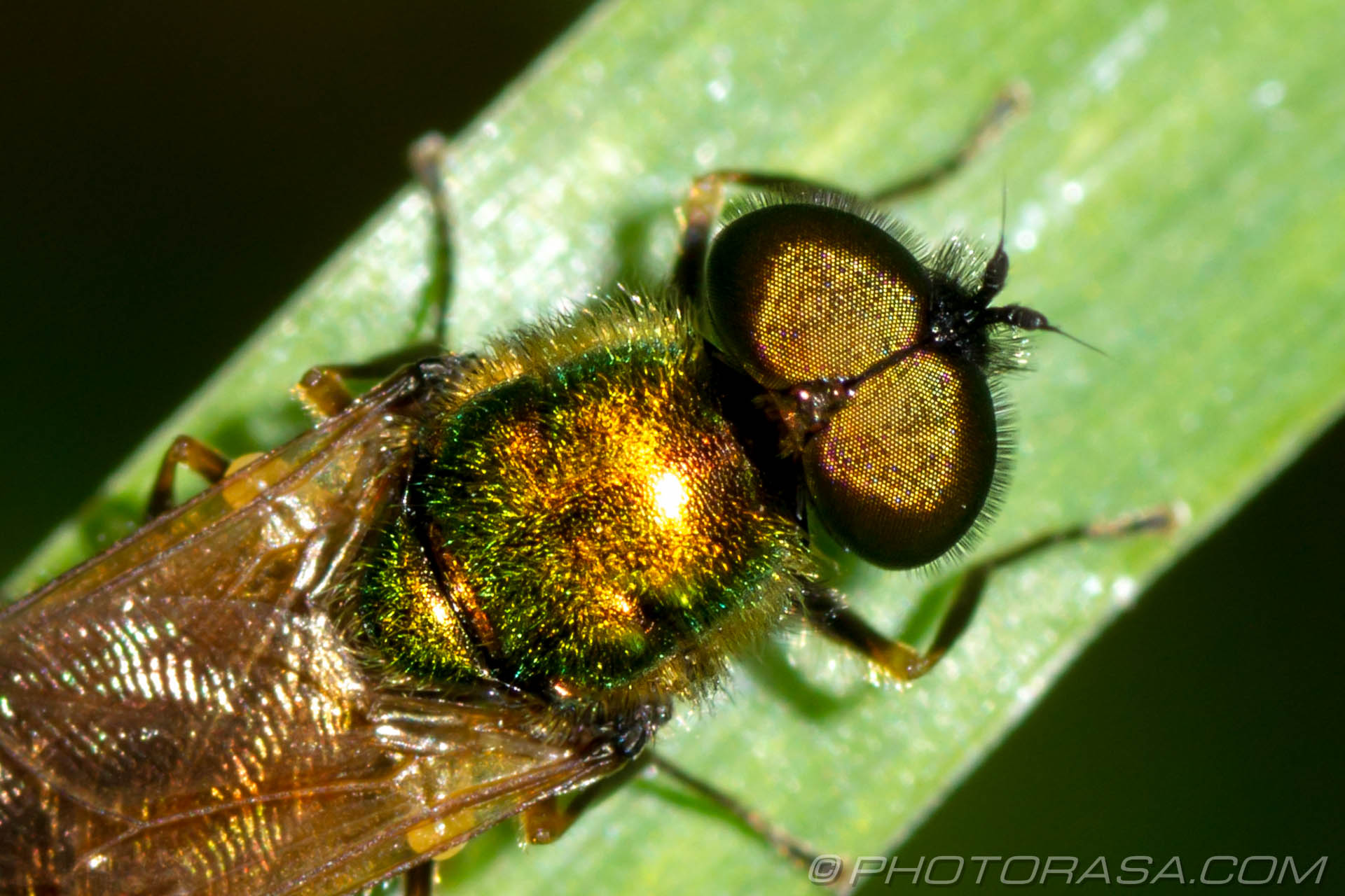 http://photorasa.com/golden-fly/gold-fly-eyes/