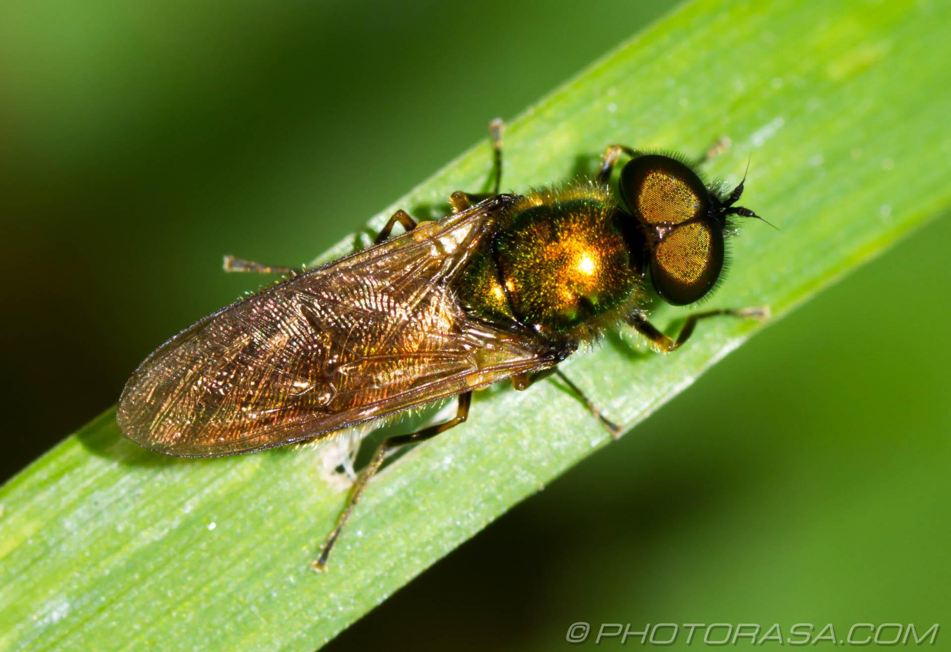 https://photorasa.com/golden-fly/golden-fly/