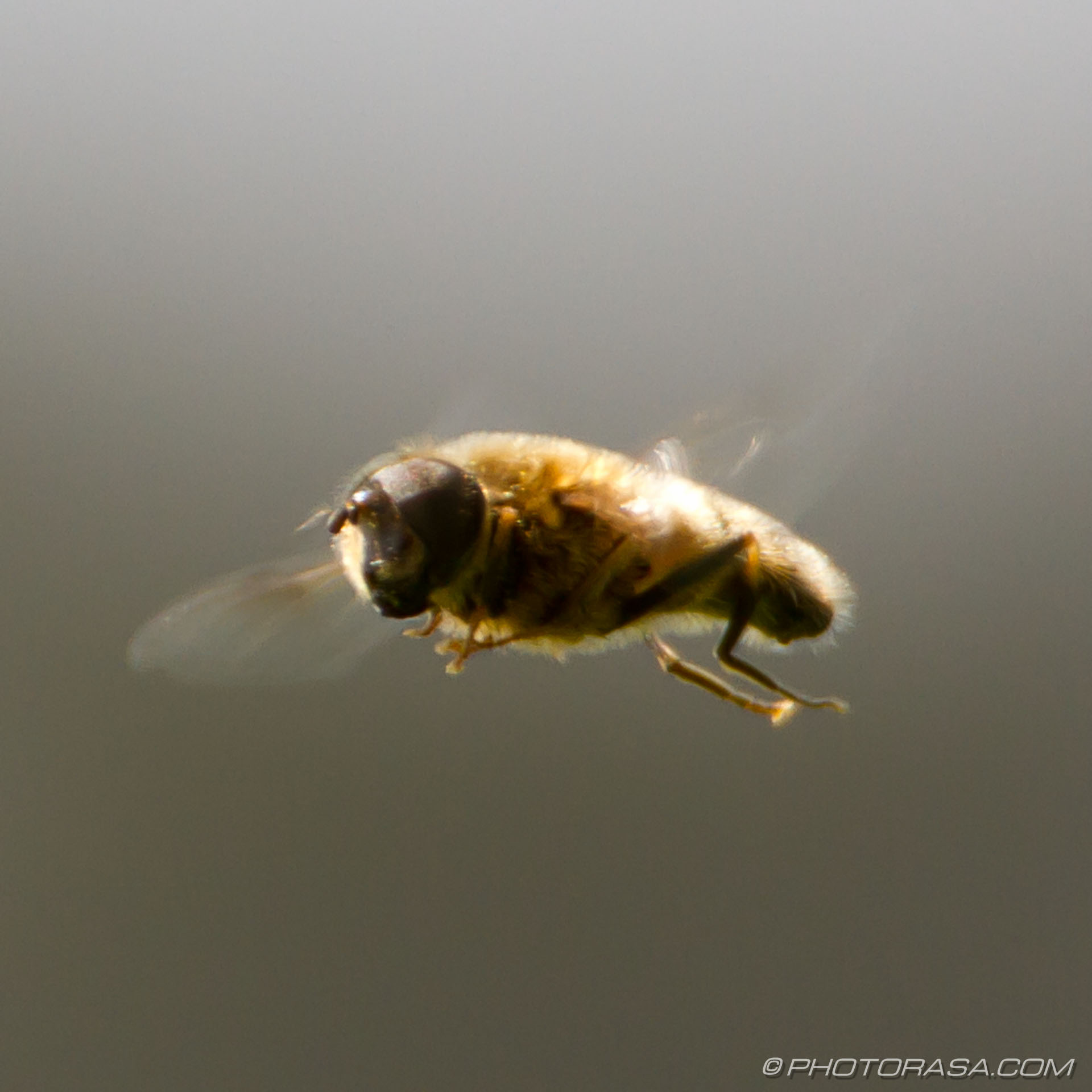 https://photorasa.com/hoverflies/hover-fly-in-motion/