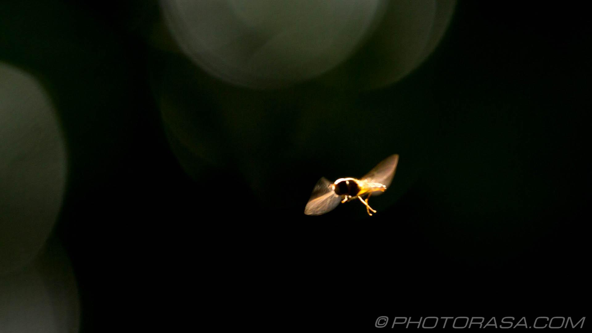https://photorasa.com/hoverflies/hoverfly-in-flight/