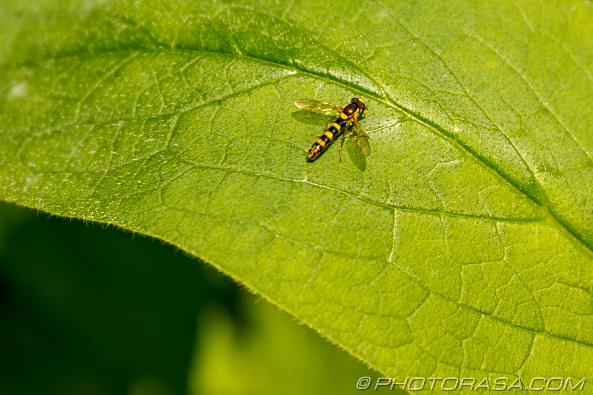 http://photorasa.com/hoverflies/hoverfly-on-leaf/