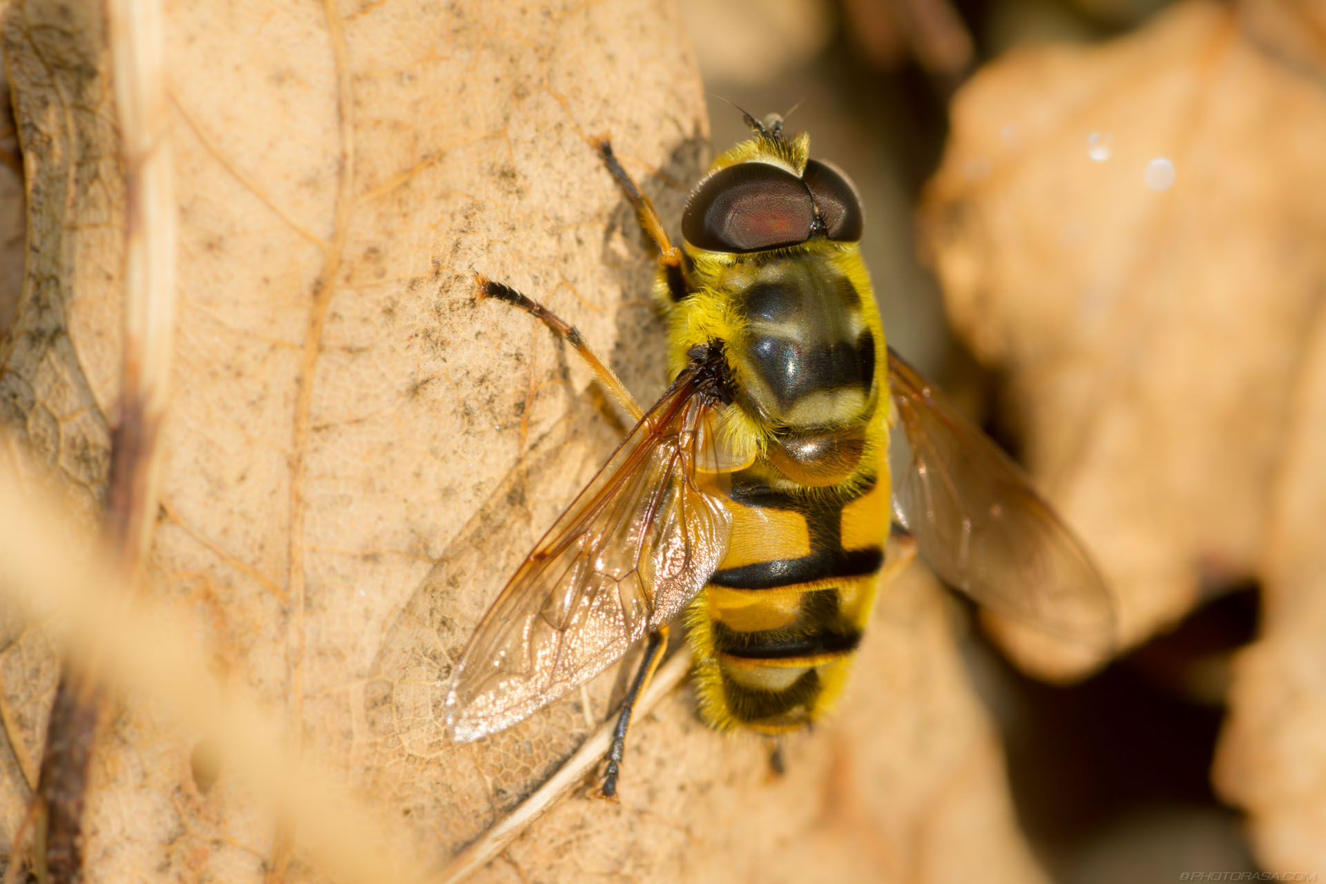 https://photorasa.com/hoverflies/large-male-bee-mimic-hoverfly/