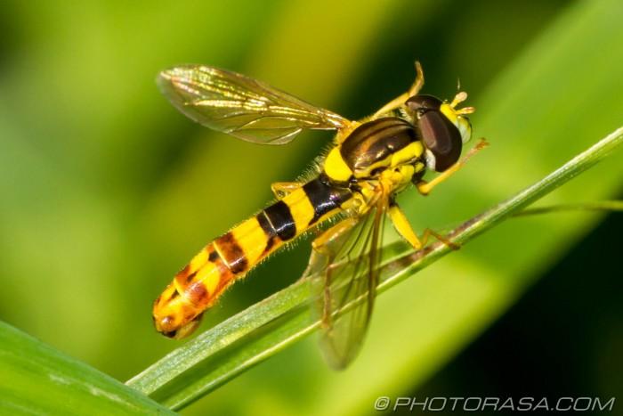 male thin abdomen hoverfly