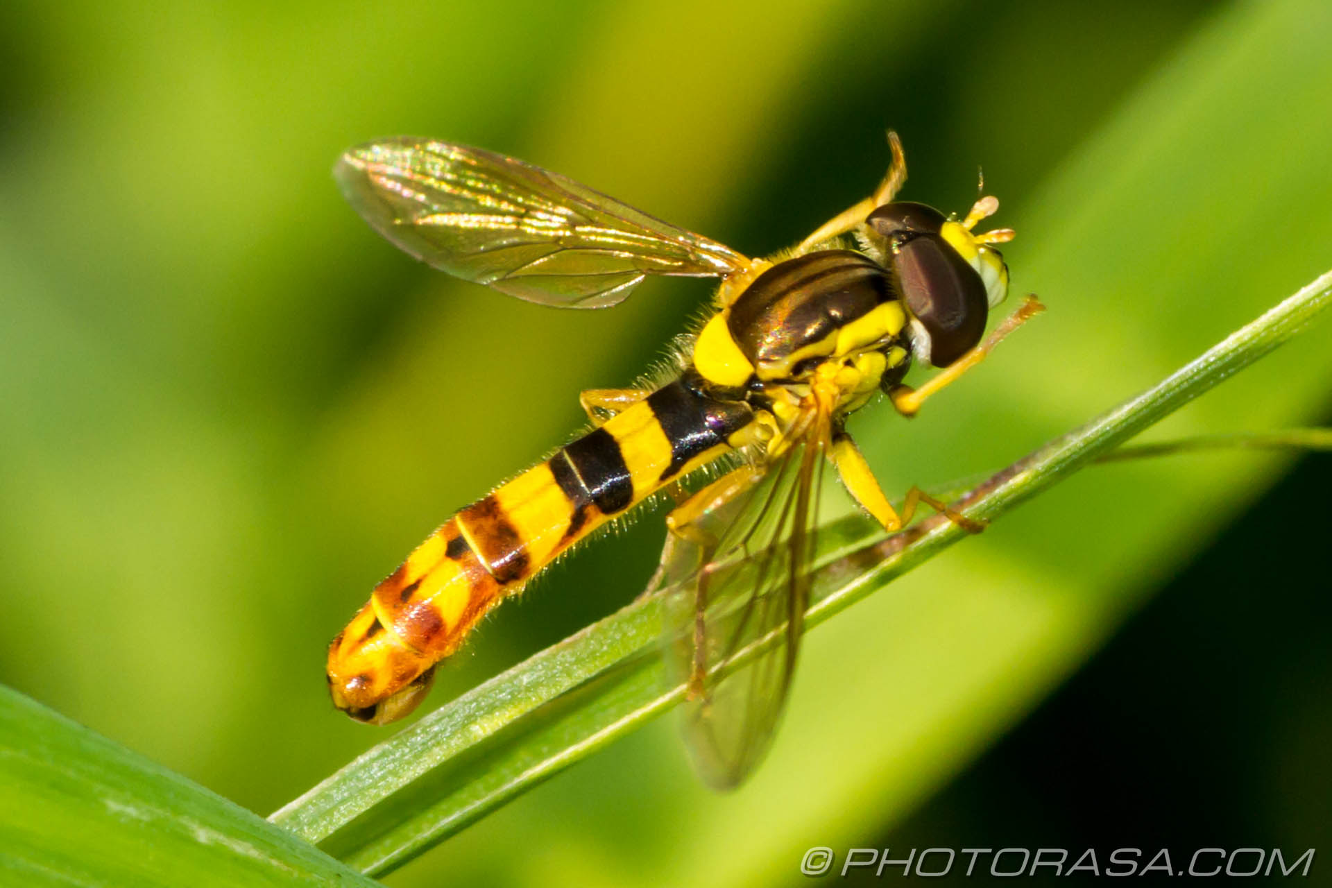 http://photorasa.com/animals/insects/hoverflies/attachment/male-thin-abdomen-hoverfly/