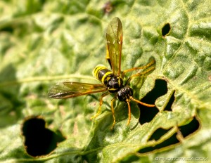wasp-like fly