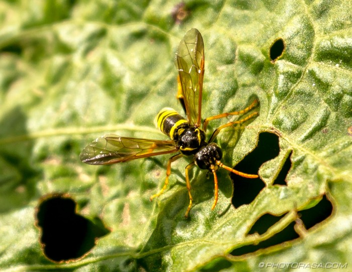 wasp-like fly
