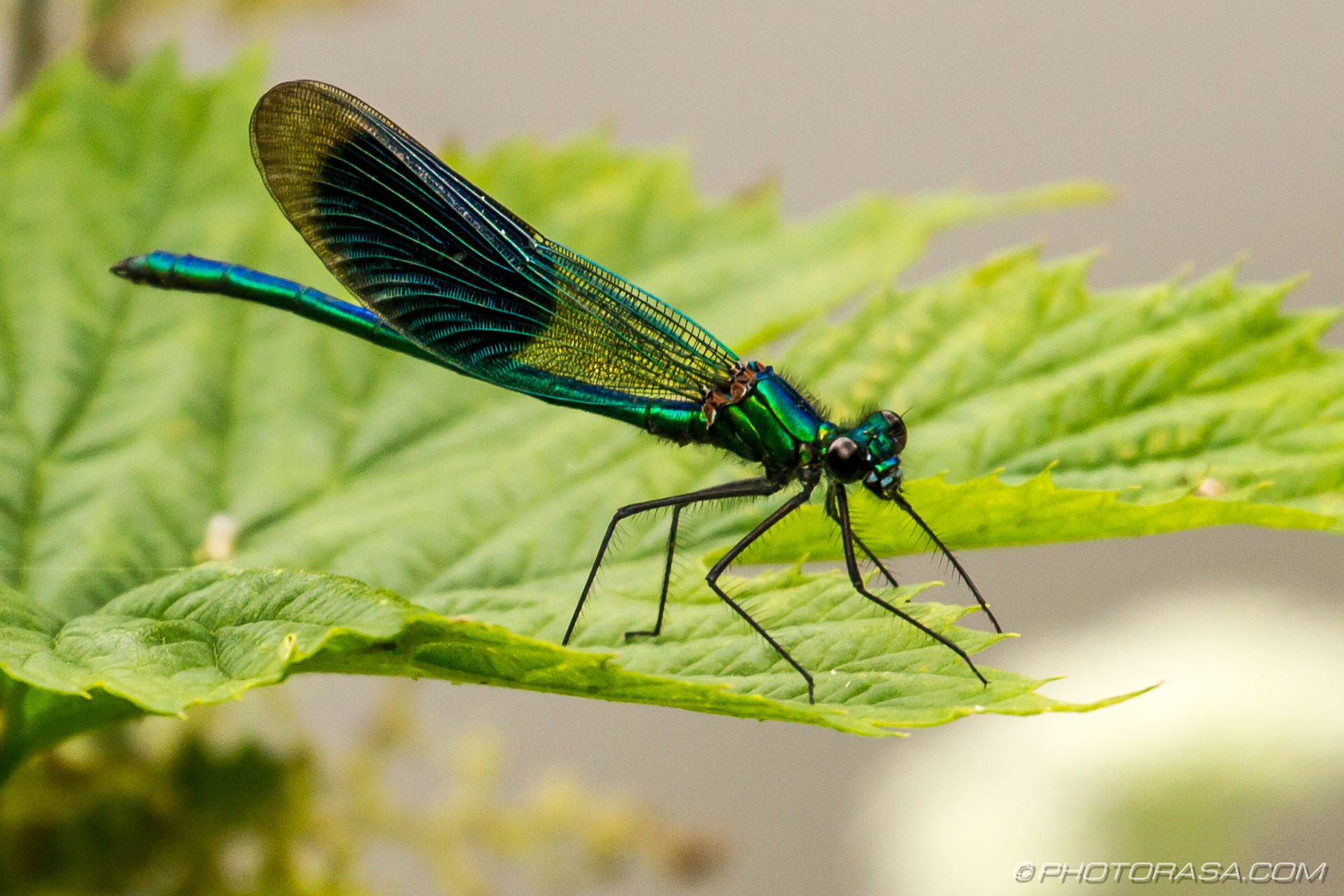 https://photorasa.com/damselflies/banded-demoiselle-damselfly/