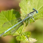 blue and black  damselfly