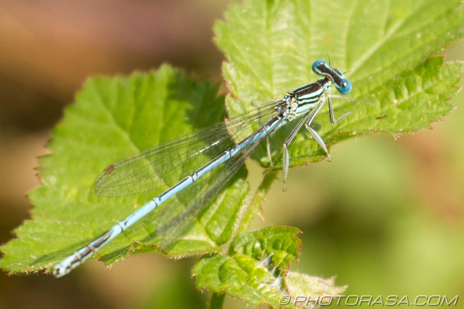 http://photorasa.com/damselflies/blue-and-black-damselfly/